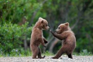 cute-baby-bear-fight